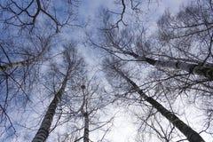 Beskåda underifrån på en blå himmel för vår från björk royaltyfria bilder