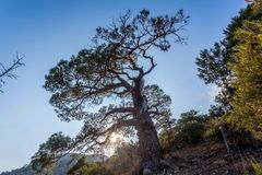 Beskåda upp på krokigt träd med massor av filialer på stenig lutning arkivbilder