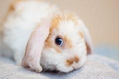 Besk?ra det lite r?d och vit ?rat f?rgkanin, 2 gamla m?nader, kaninen p? gr? bakgrund - djur och husdjurbegreppet royaltyfria foton