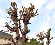 Beskar träd Arkivbild