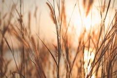 Beskickninggräs eller fjäderpennisetum och solnedgång, tappningbakgrunder fotografering för bildbyråer