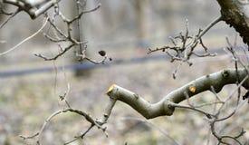 Beskurit äppleträd i en fruktträdgård royaltyfri bild