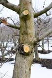 beskurit äppleträd i vinter arkivbild