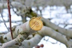 beskurit äppleträd i vinter royaltyfri bild