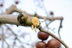 beskurit äppleträd i vinter royaltyfria foton