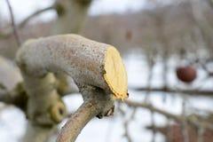 beskurit äppleträd i vintern, februari arkivbild