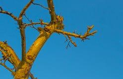 Beskurit fruktträd i en blå himmel i solljus på nedgången arkivbild