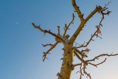 Beskurit fruktträd i en blå himmel i solljus på nedgången arkivfoto