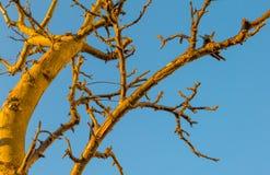 Beskurit fruktträd i en blå himmel i solljus på nedgången arkivbilder