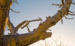 Beskurit fruktträd i en blå himmel i solljus på nedgången royaltyfri bild