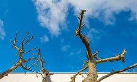 Beskurit fruktträd längs en vit vägg i solljus arkivbilder