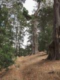 Beskurit högväxt sörjer träd i en skog fotografering för bildbyråer