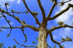 Beskurit platan träd royaltyfri fotografi