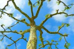 Beskurit platan träd royaltyfri bild