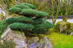 Beskurit träd i japansk stil, Topiarykonst, asiatiska traditioner arkivbild