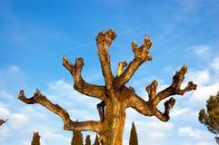 Beskurit träd på en blå himmel med moln arkivbild