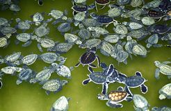 Beskydd för havssköldpadda, Kosgoda, Sri Lanka royaltyfria bilder