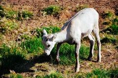 Beskydd Yukon för lösa får i Whitehorse, Yukon royaltyfri foto