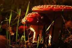 Beskydda champinjoner och spetsar för daggdroppe Arkivfoton