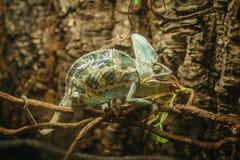 Beslöjad grön kameleont på trädfilialen royaltyfria foton