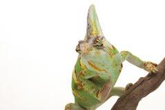 Beslöjad kameleont Arkivfoto