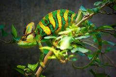 Beslöjad kameleont Royaltyfri Fotografi