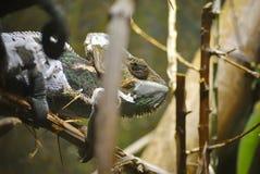 Beslöjad kameleont eller Chamaeleocalyptratus royaltyfri fotografi