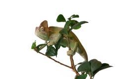 Beslöjad kameleont i ett fikusbonsaiträd Royaltyfri Foto