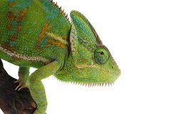 Beslöjad kameleont som isoleras på vit bakgrund Royaltyfri Fotografi