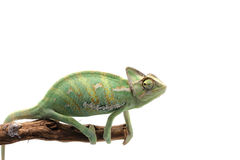 Beslöjad kameleont som isoleras på vit bakgrund Royaltyfria Bilder