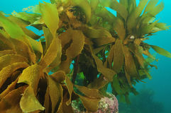 Beslopen kelp stock foto