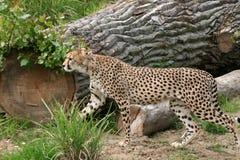 Besluipen van de jachtluipaard Waakzaam in Gras Royalty-vrije Stock Afbeeldingen