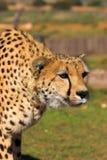 Besluipende Jachtluipaard Royalty-vrije Stock Afbeelding