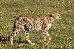 Besluipende Jachtluipaard in Serengeti Stock Afbeeldingen