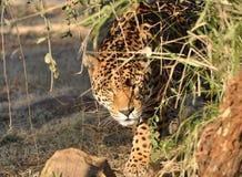 Besluipende jaguar Stock Afbeeldingen