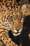 Besluipende jaguar Stock Afbeelding