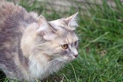 Besluipende kat Stock Foto
