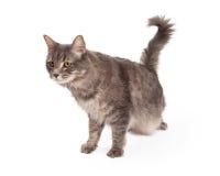 Besluipende Tabby Cat Looking For Prey Stock Afbeelding