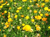 Besmette goudsbloembloem aphids Royalty-vrije Stock Foto