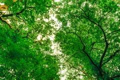 Besmettelijke boomluifel Stock Afbeeldingen