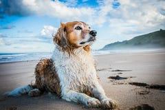 Besmeurde rode en witte krullende haired collietype hond bij een strand stock fotografie