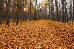 Besnoeiing-door in de herfst haagbeukhout Stock Afbeeldingen