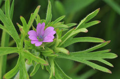 Besnoeiing-leaved Cranesbill royalty-vrije stock foto's
