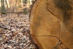 Besnoeiing van een oude, gouden en droge boomstam die in het bos leggen stock foto's