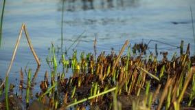 Besnoeiingenriet op rivier, de herfst vorige warme dagen, dalingenkleur stock videobeelden