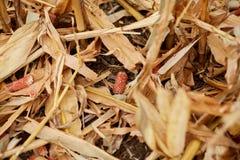 Besnoeiingsbladeren en maïskolven op een gebied stock afbeelding
