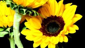 Besnoeiingszonnebloemen het Bloeien stock footage