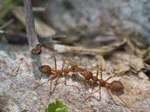 Beso de la hormiga Imagen de archivo libre de regalías