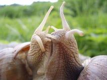 Beso de los caracoles Imagen de archivo libre de regalías