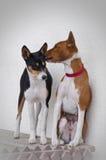 Beso de los perros de Basenji Foto de archivo